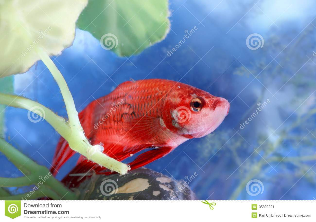 Betta fish stock image image of aquarium betta nature for Dream about fish out of water