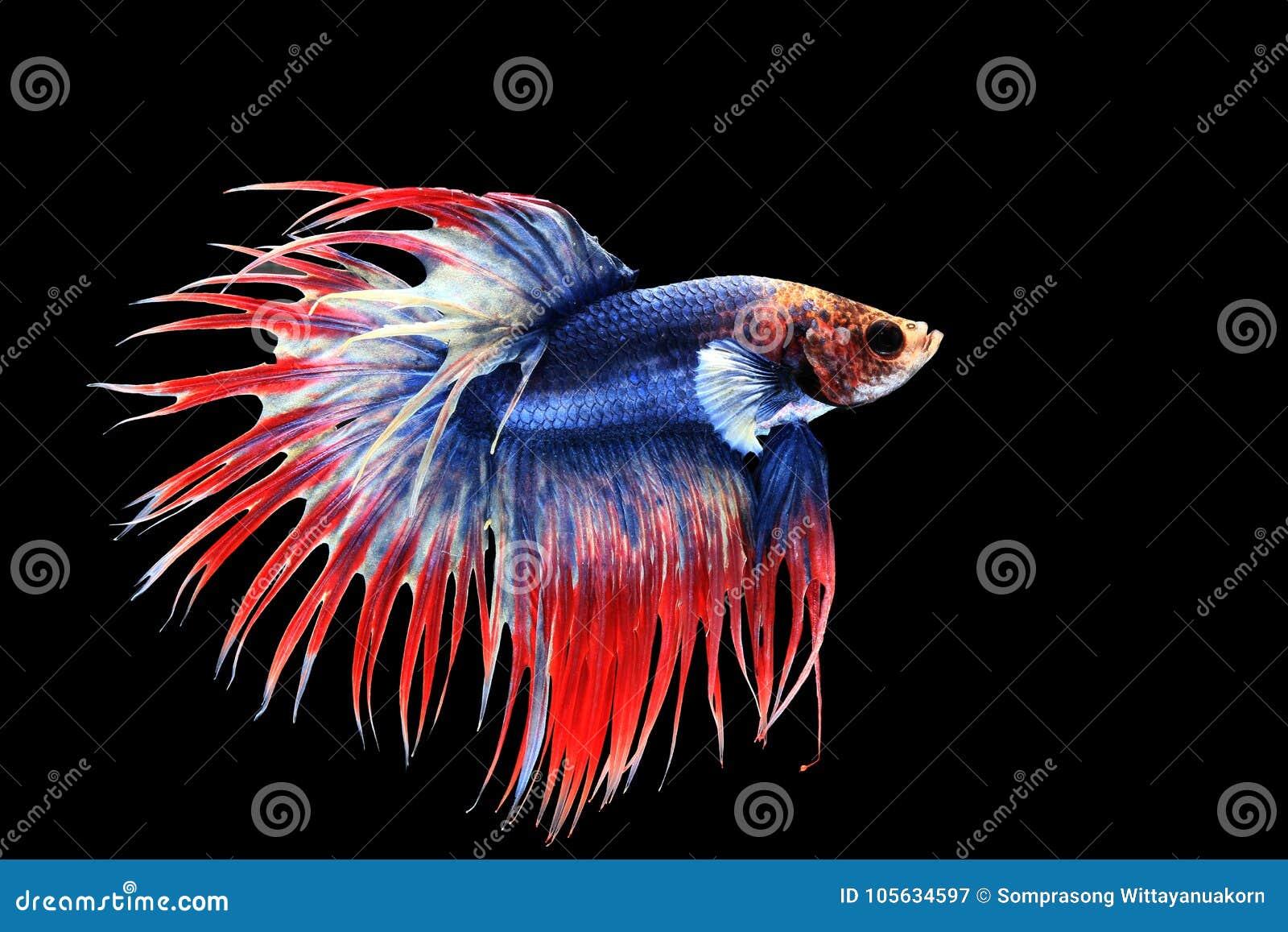 Betta splendens crown tail stock image. Image of fancy - 105634597