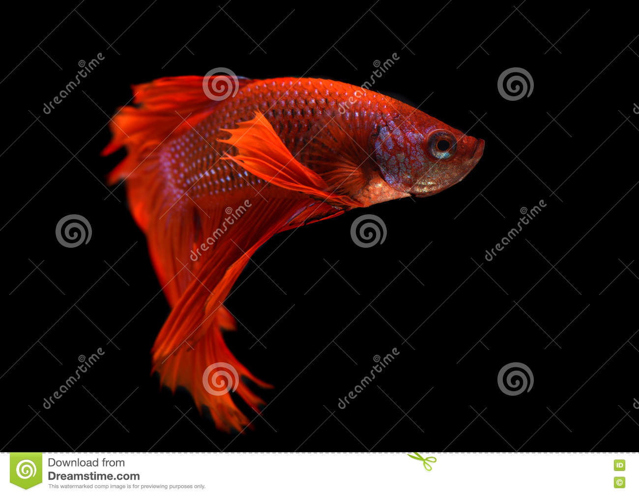 Betta Fish Or Siamese Fighting Fish Stock Image - Image of colorful ...