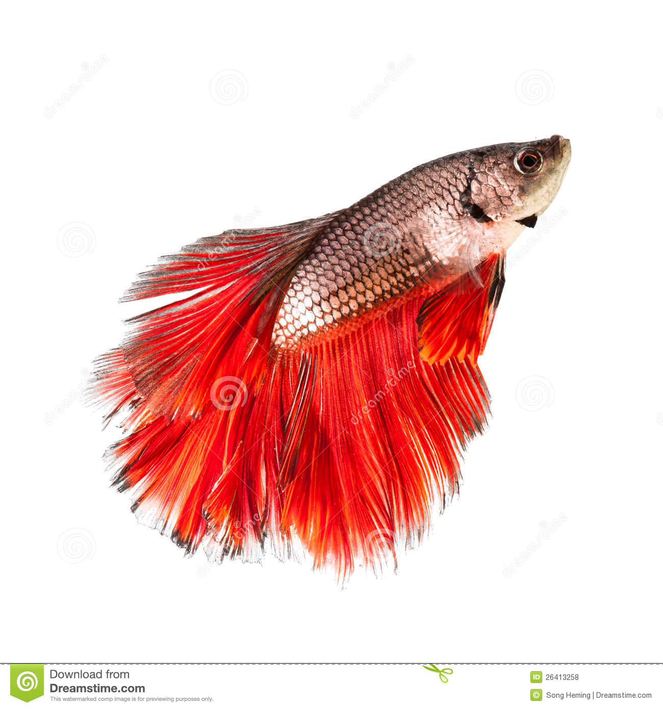Betta Fish Siamese Fighting Red Tail Stock Photos - 2,768 Images