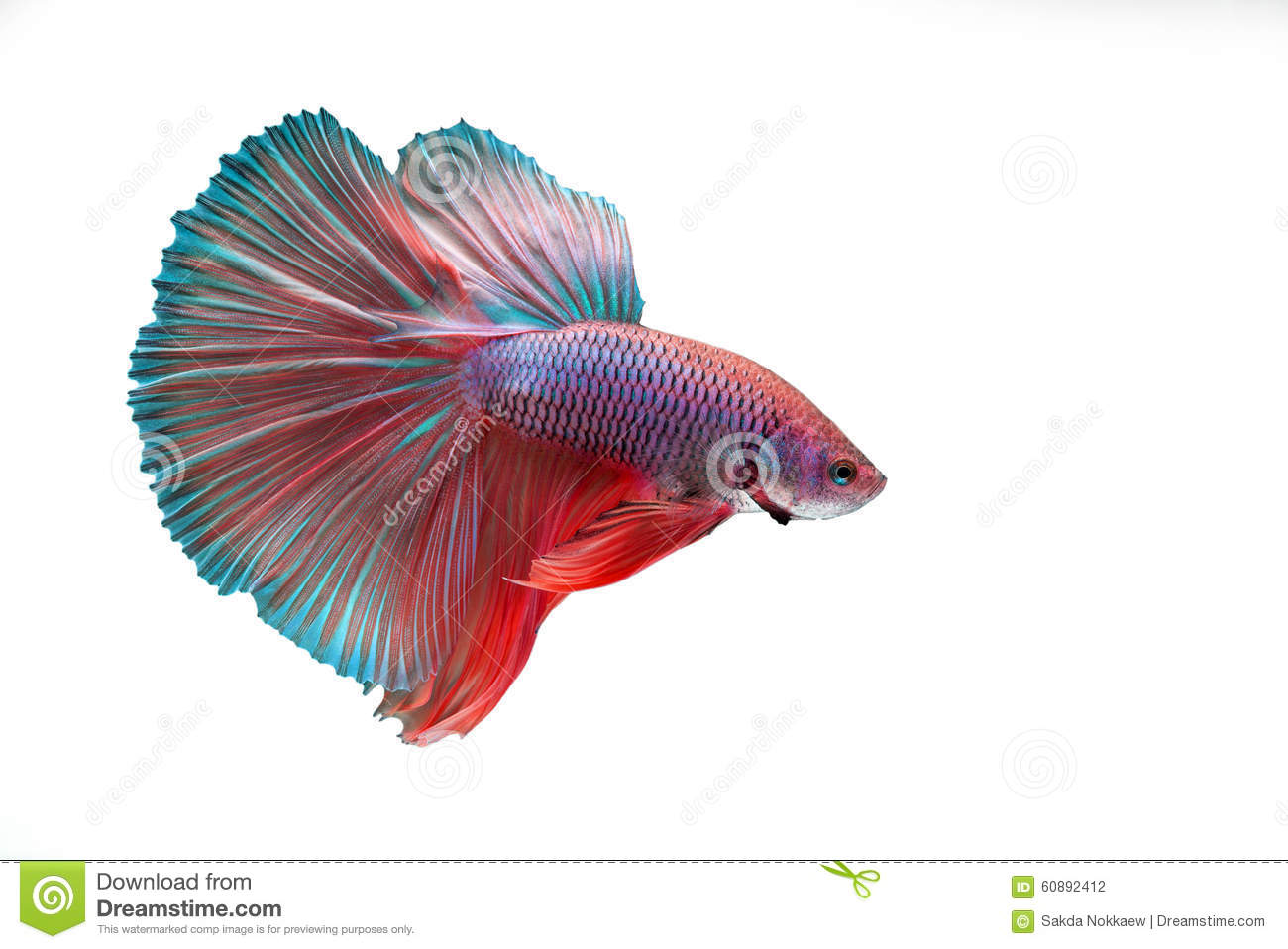 Betta fish stock photo. Image of color, tropical, betta - 60892412