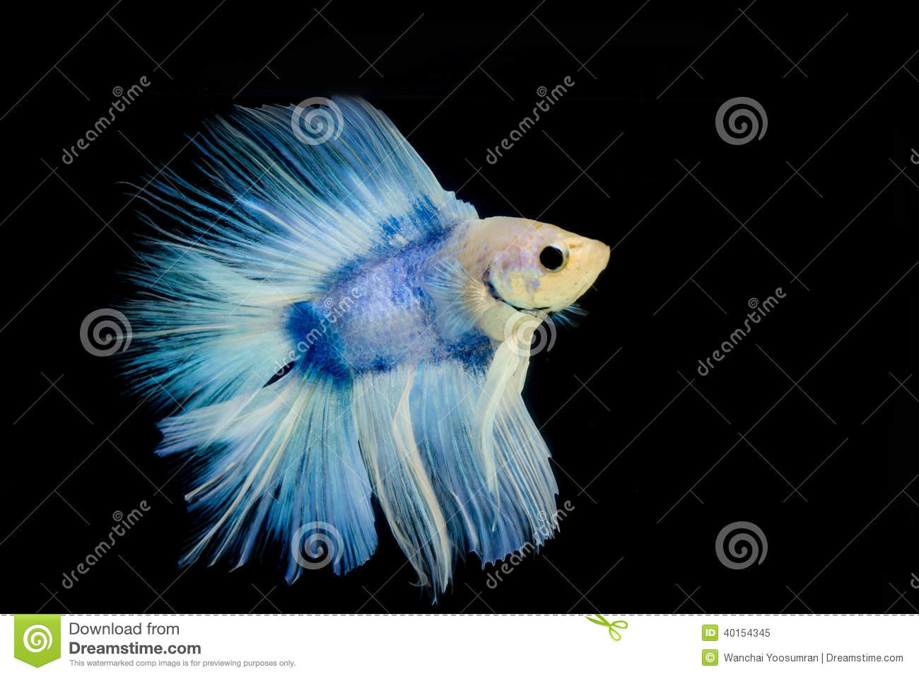 Betta pet fish stock image image of beautiful aggressive for Fish and pets unlimited