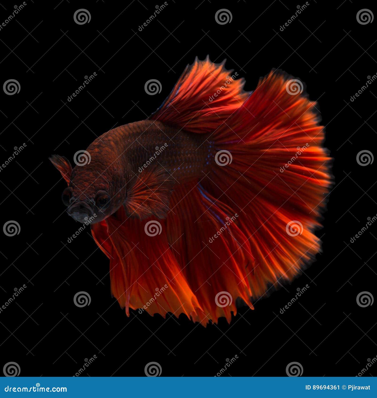 betta rouge image stock image du color poissons natation 89694361. Black Bedroom Furniture Sets. Home Design Ideas