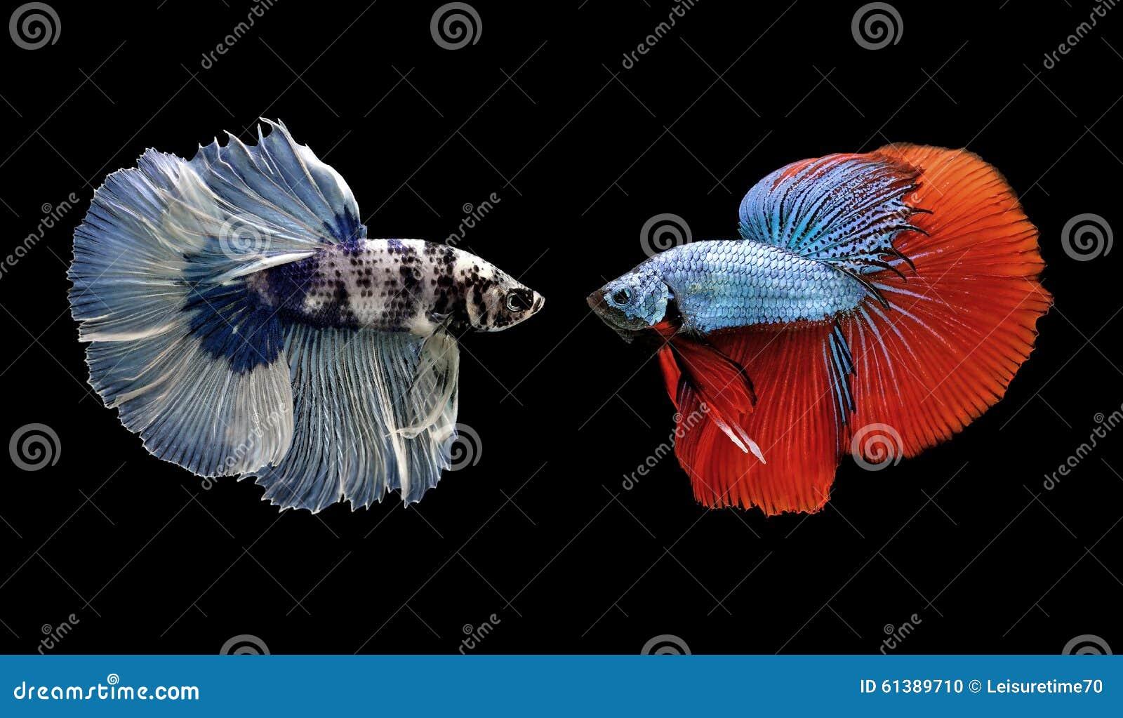 Bettavissen, siamese het vechten vissen op zwarte worden geïsoleerd die