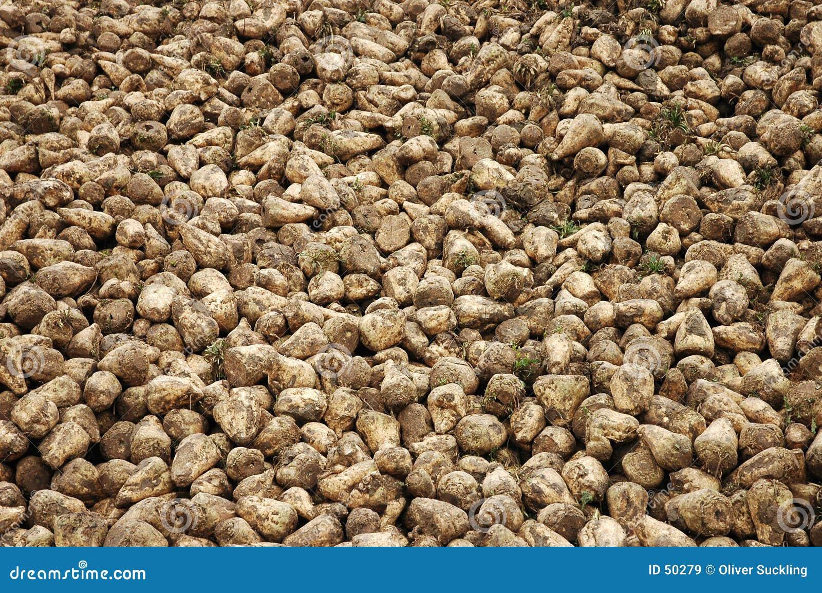 Download Betterave à sucre image stock. Image du organique, brun - 50279