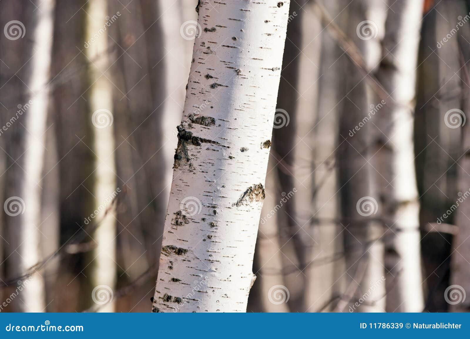 Betula δάσος σημύδων