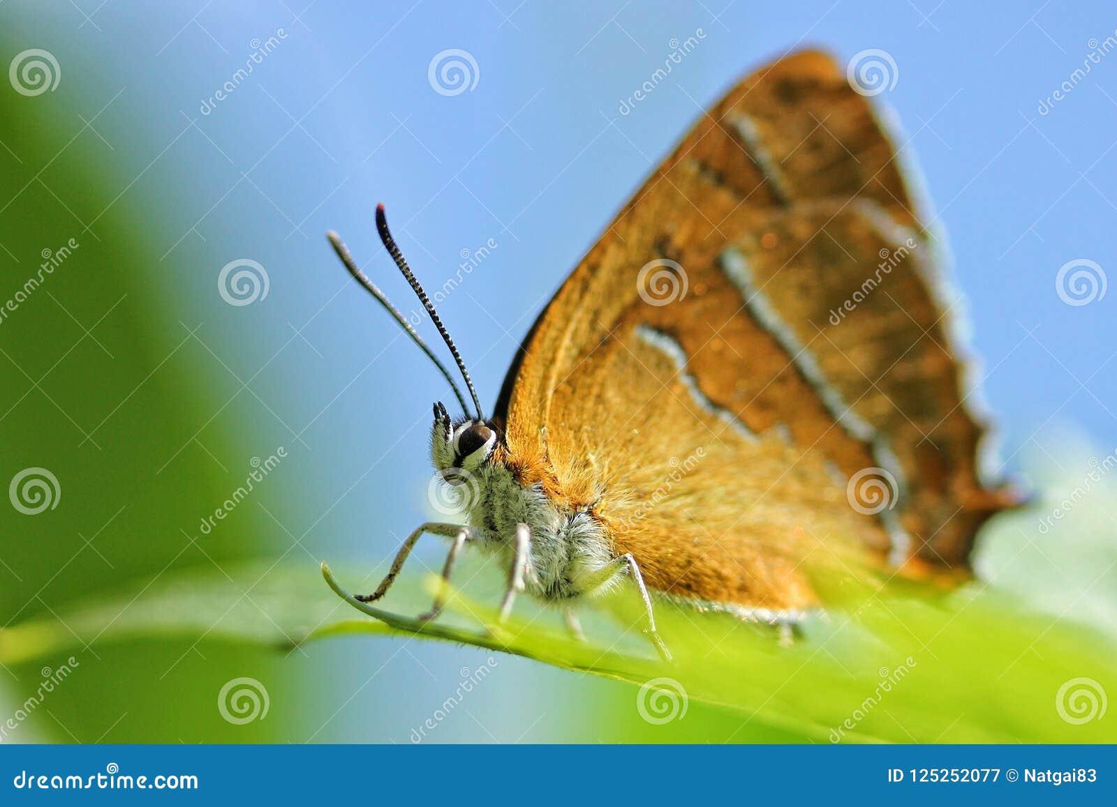 Betulae alaranjados do thecla da borboleta