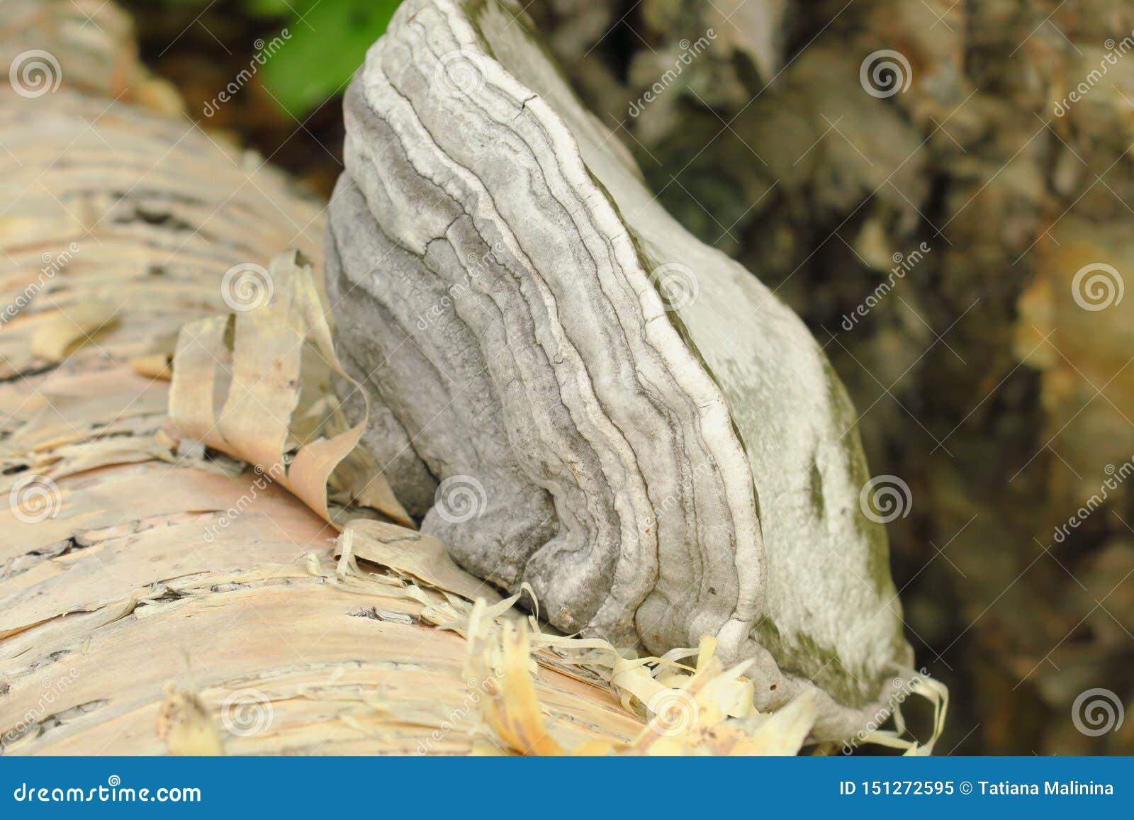 Betulina de Fomitopsis, previamente betulinus de Piptoporus, conhecido como o polypore do vidoeiro, o suporte do vidoeiro, ou o c