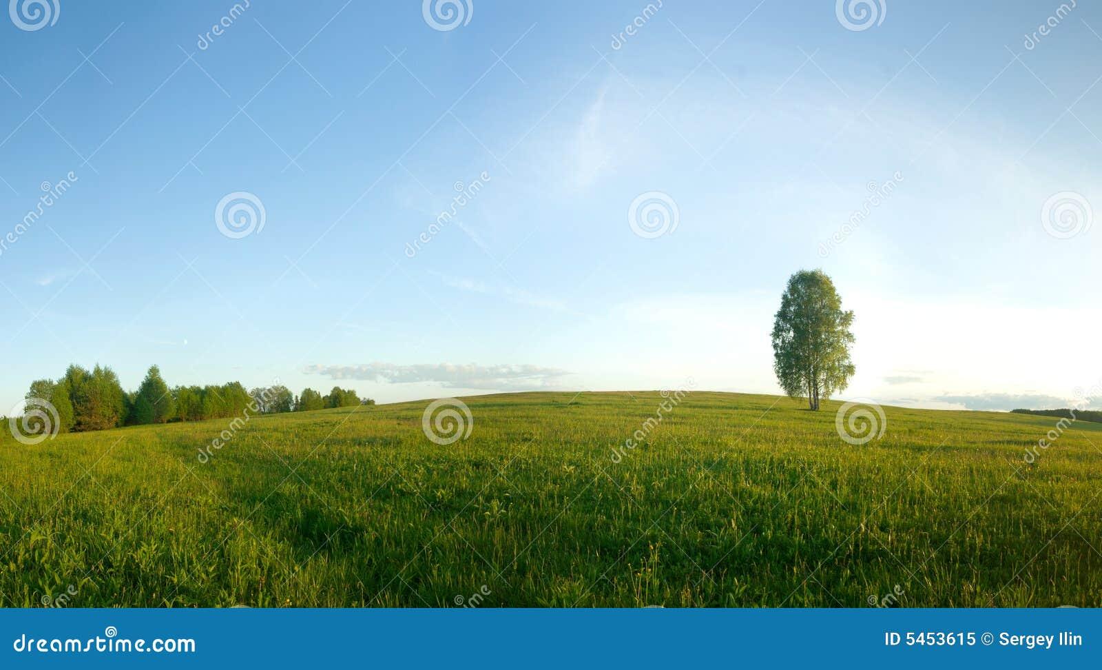 Betulla sola in un campo.