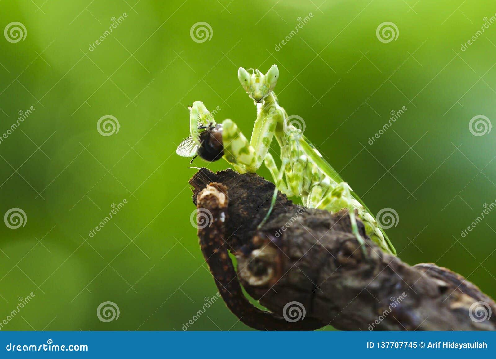 The praying mantis eating