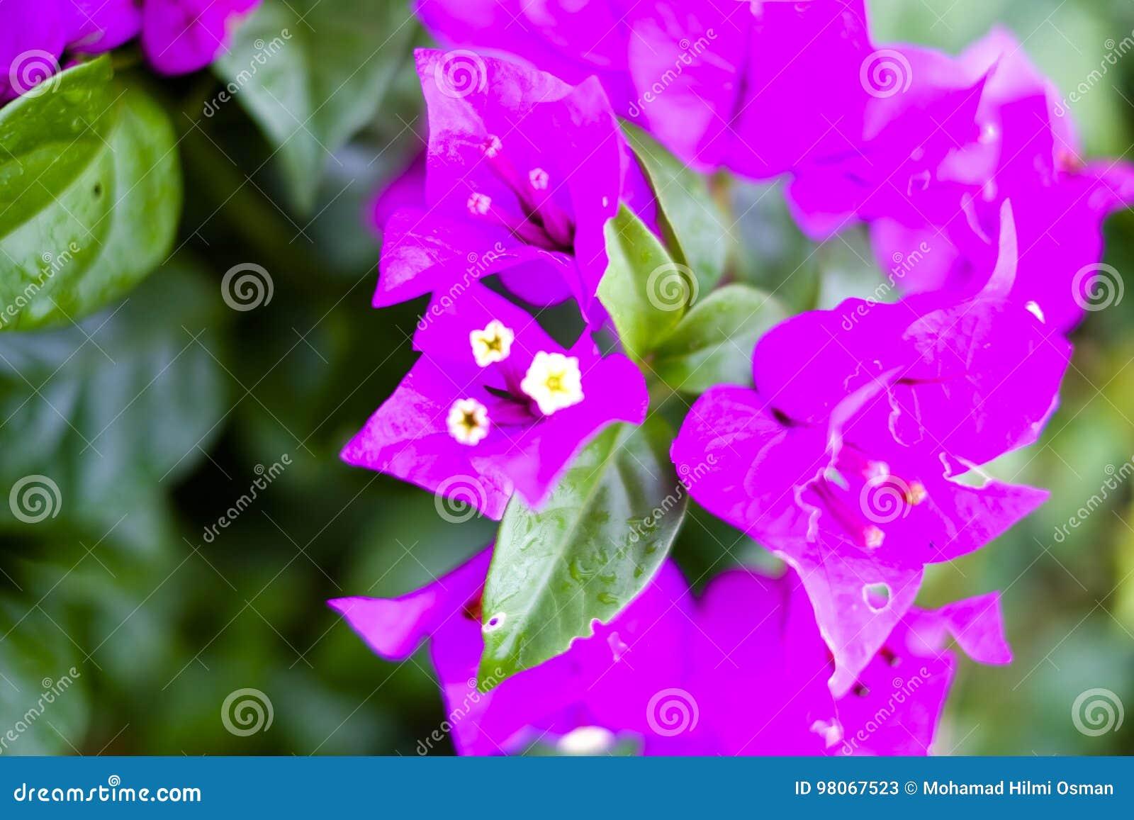 Beutiful flower in malaysia stock image image of world water download beutiful flower in malaysia stock image image of world water 98067523 izmirmasajfo