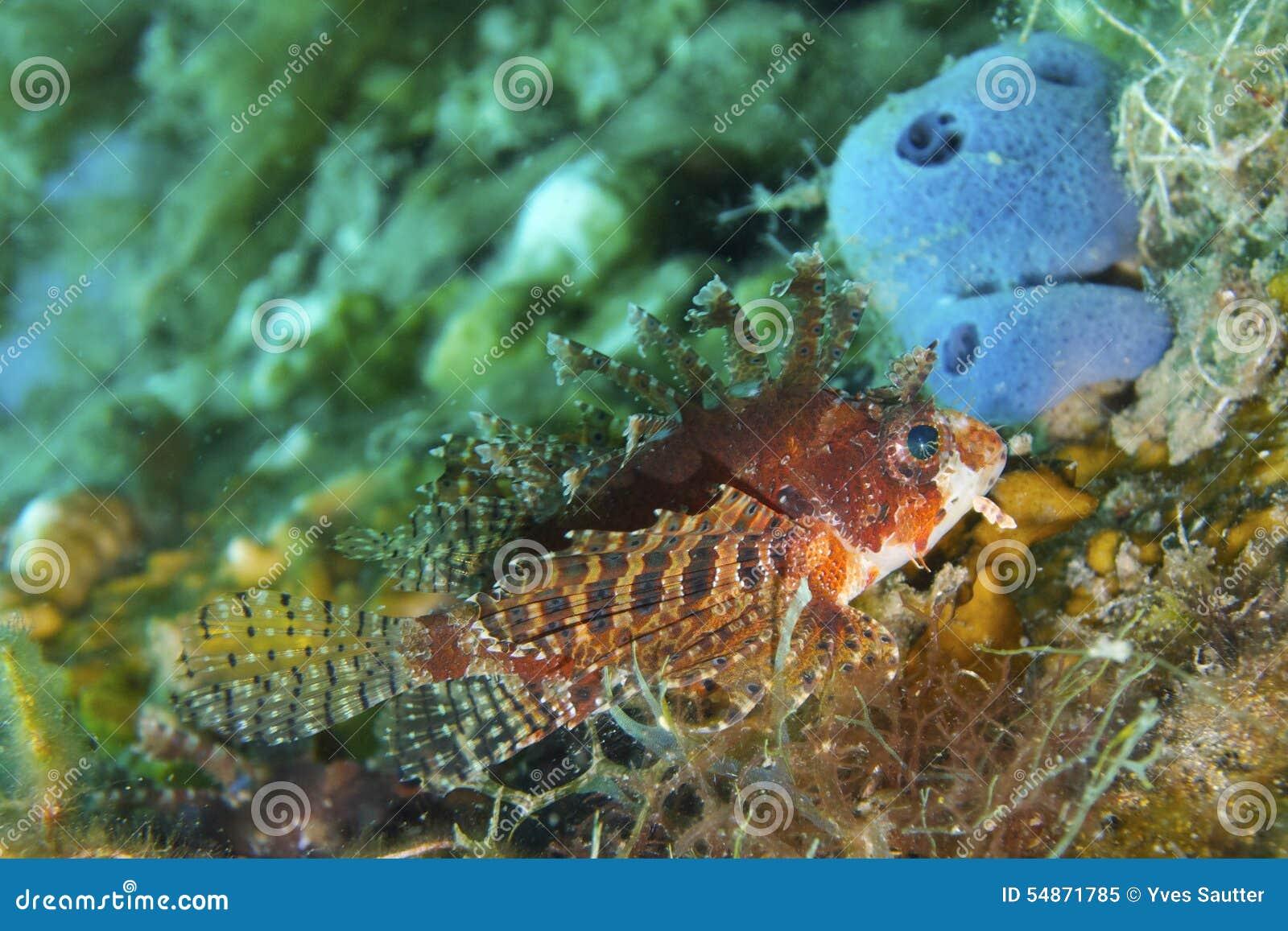 Bevallige Lionfish van Aalmoezenier Burgos, Leyte, Filippijnen
