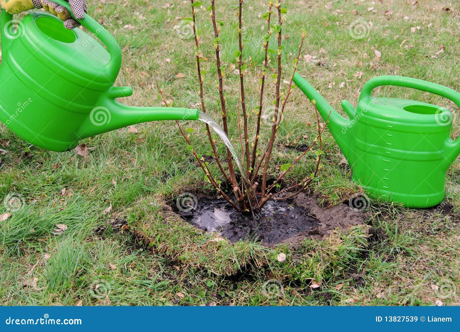 Bevattna en buske