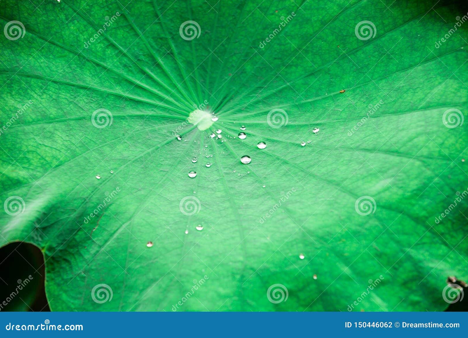 Bevattna p? lotusblommaleafen