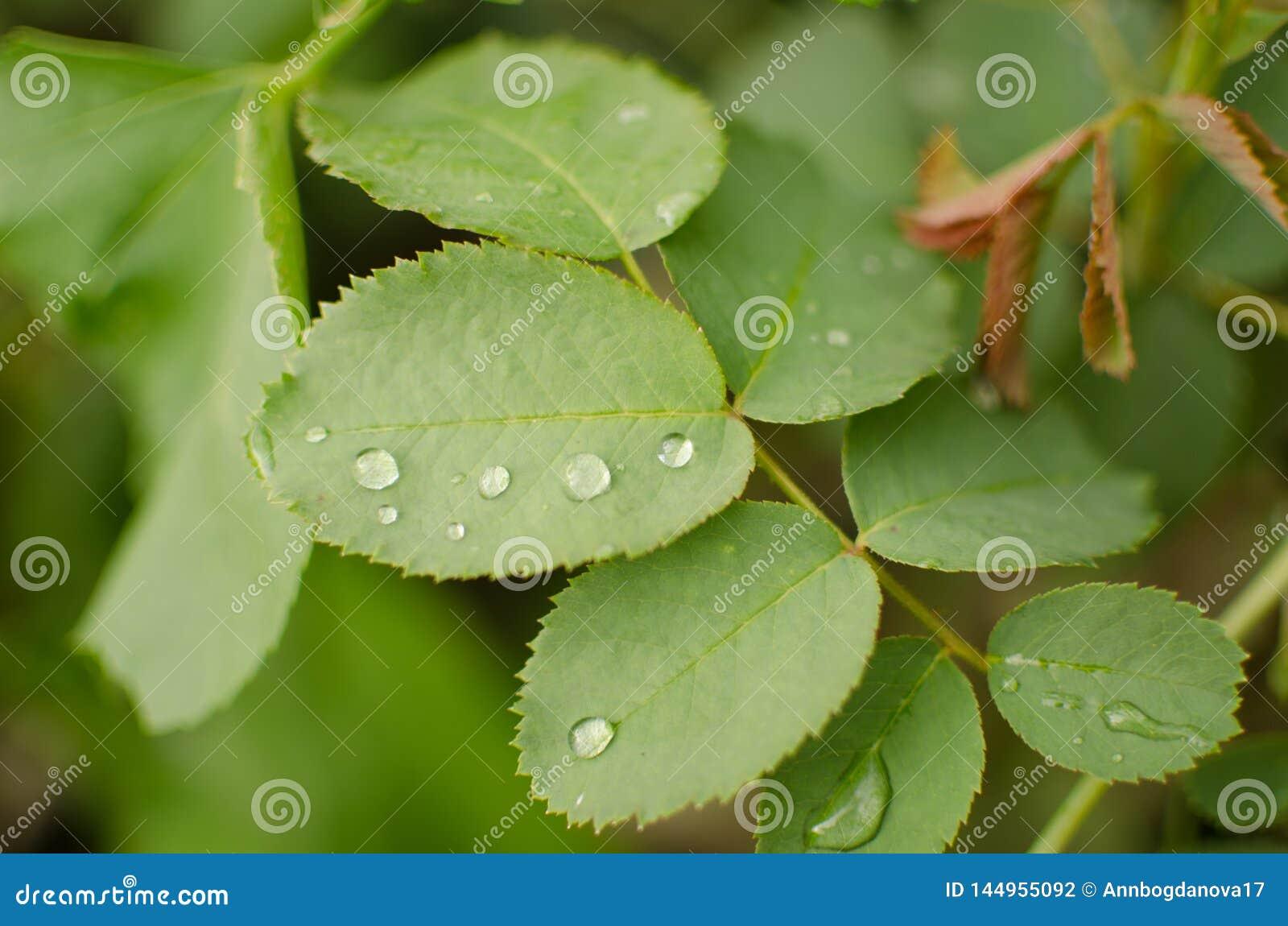 Bevattna tappar p? en gr?n leaf
