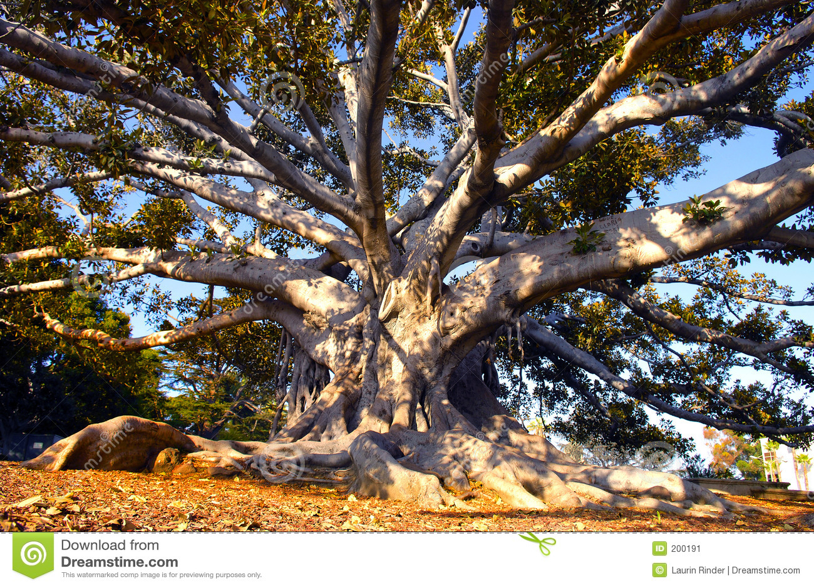 Beverly Hills tree