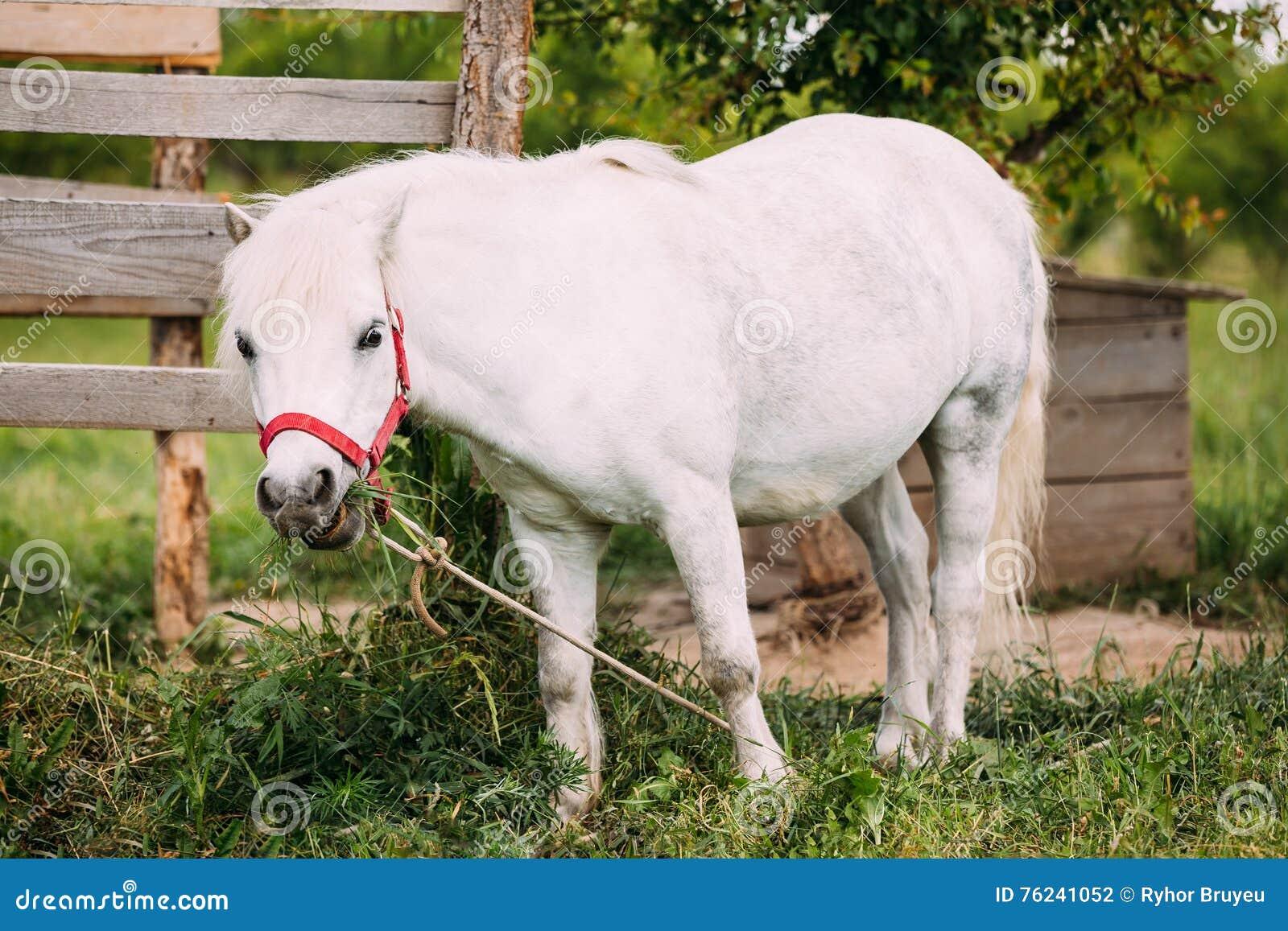 Bevindende Witte Pony Is Eating Grass At-Plattelandsboerderij Nag In Red Bridle