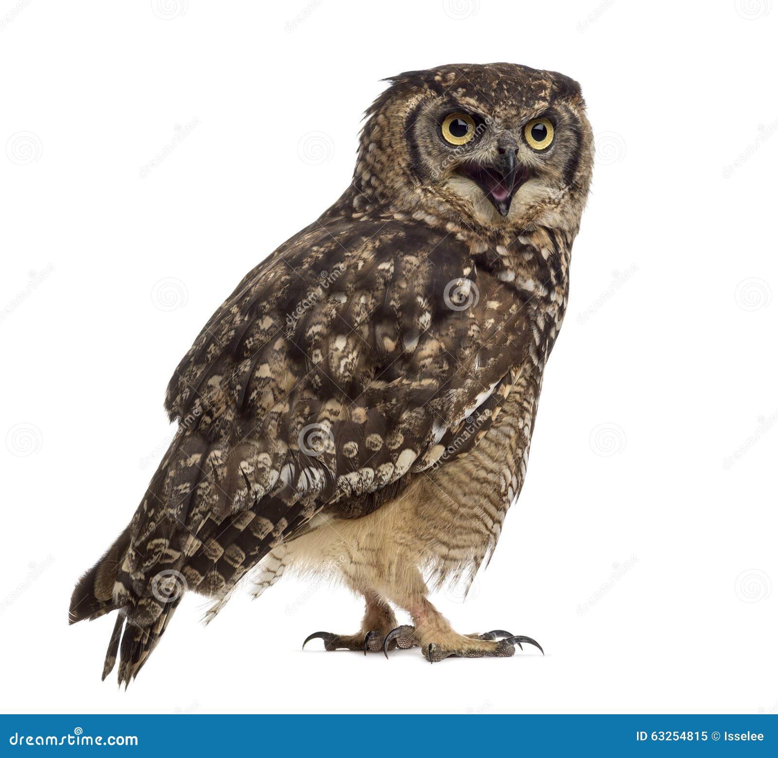Bevlekte Eagle-uil - Bubo-africanus