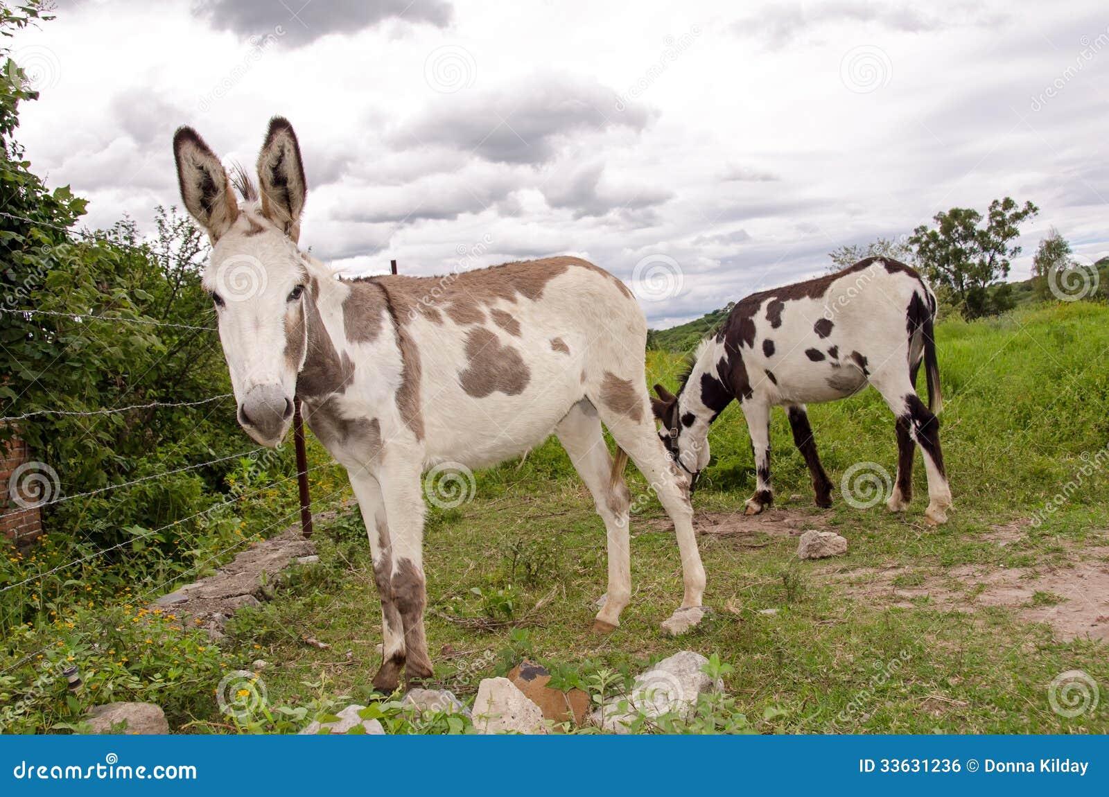 Bevlekte ezels