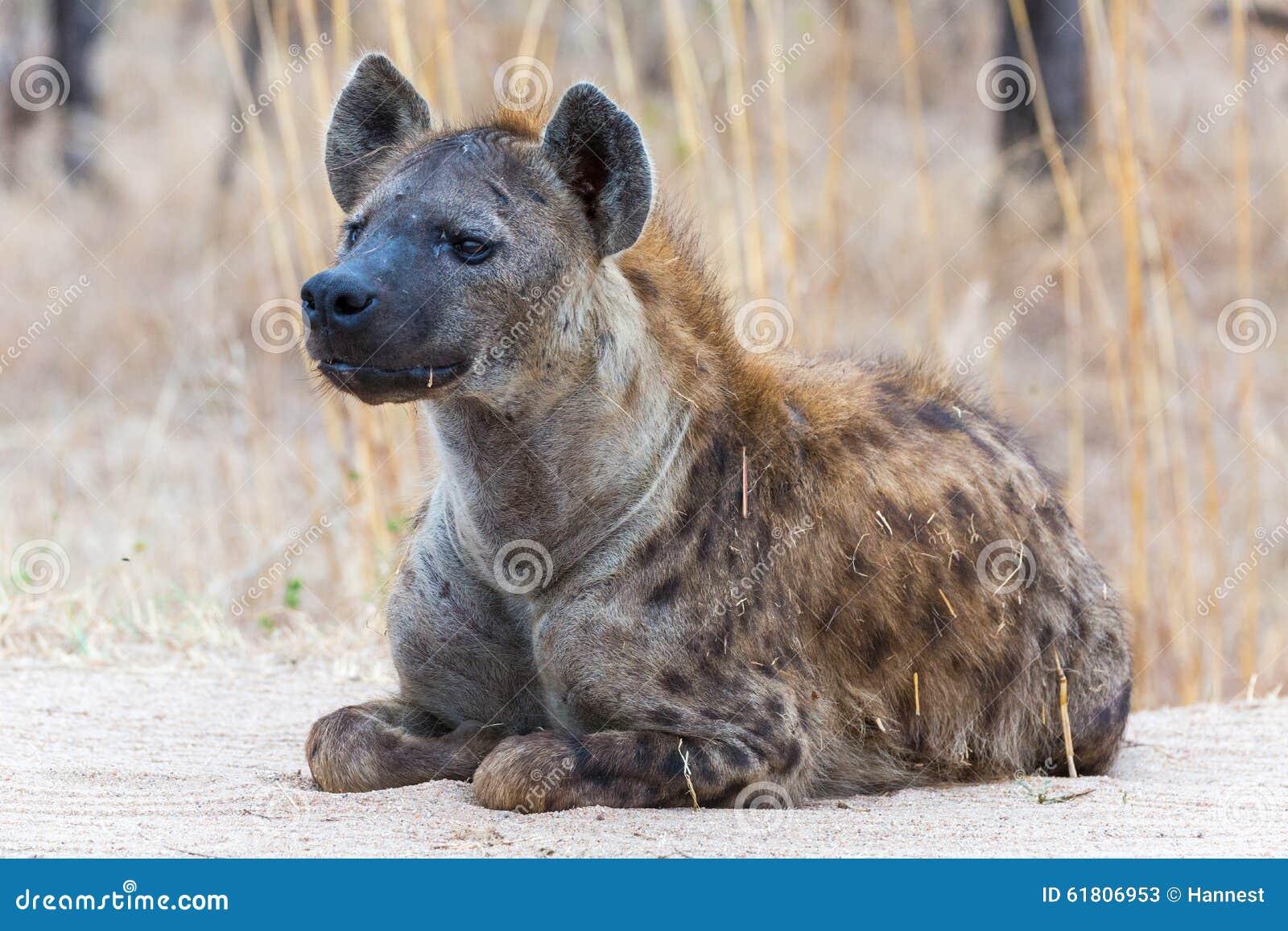 Bevlekte Hyena op het vooruitzicht
