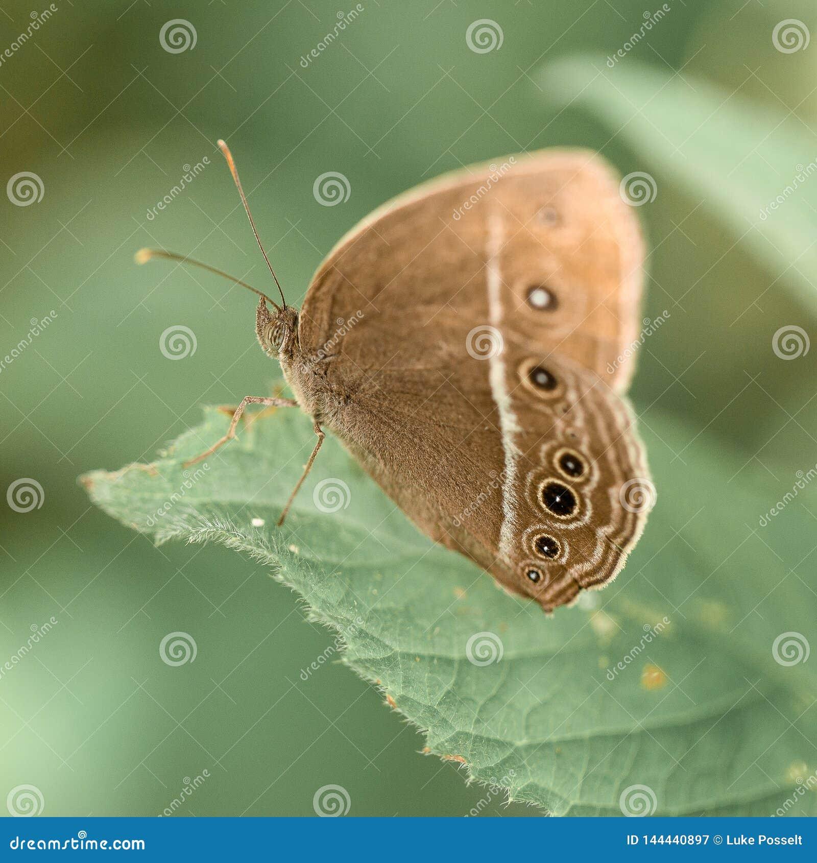 Bevlekte vlinder macroclose-up Bali Indonesië