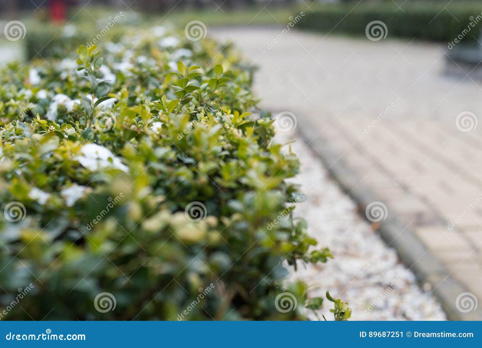 Struiken Met Bloemen Voor In De Tuin.Bevroren Groen Struiken En Bloemen In De Tuin In De Lente