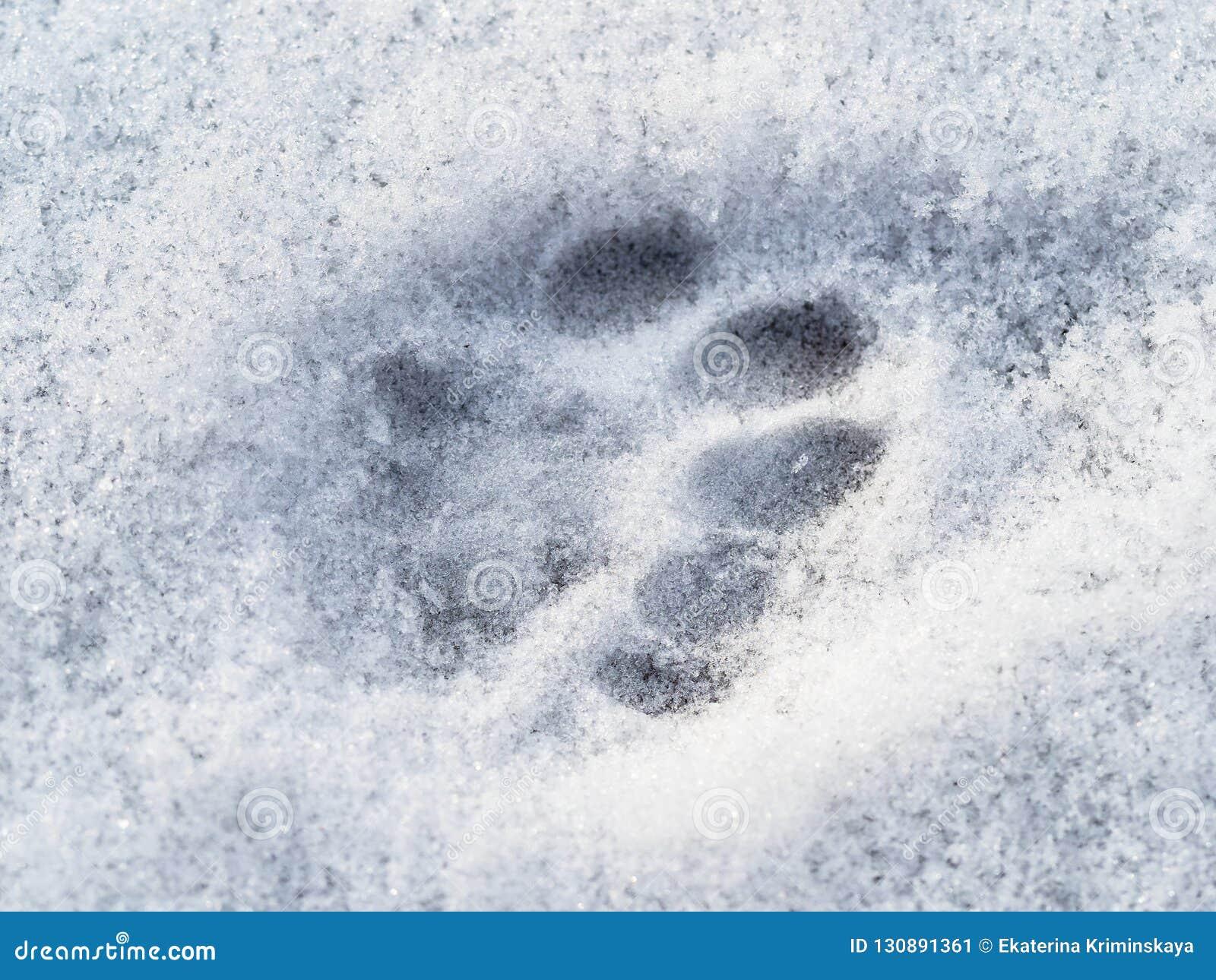 Bevroren kattenvoetafdruk dicht omhoog op oppervlakte van sneeuw