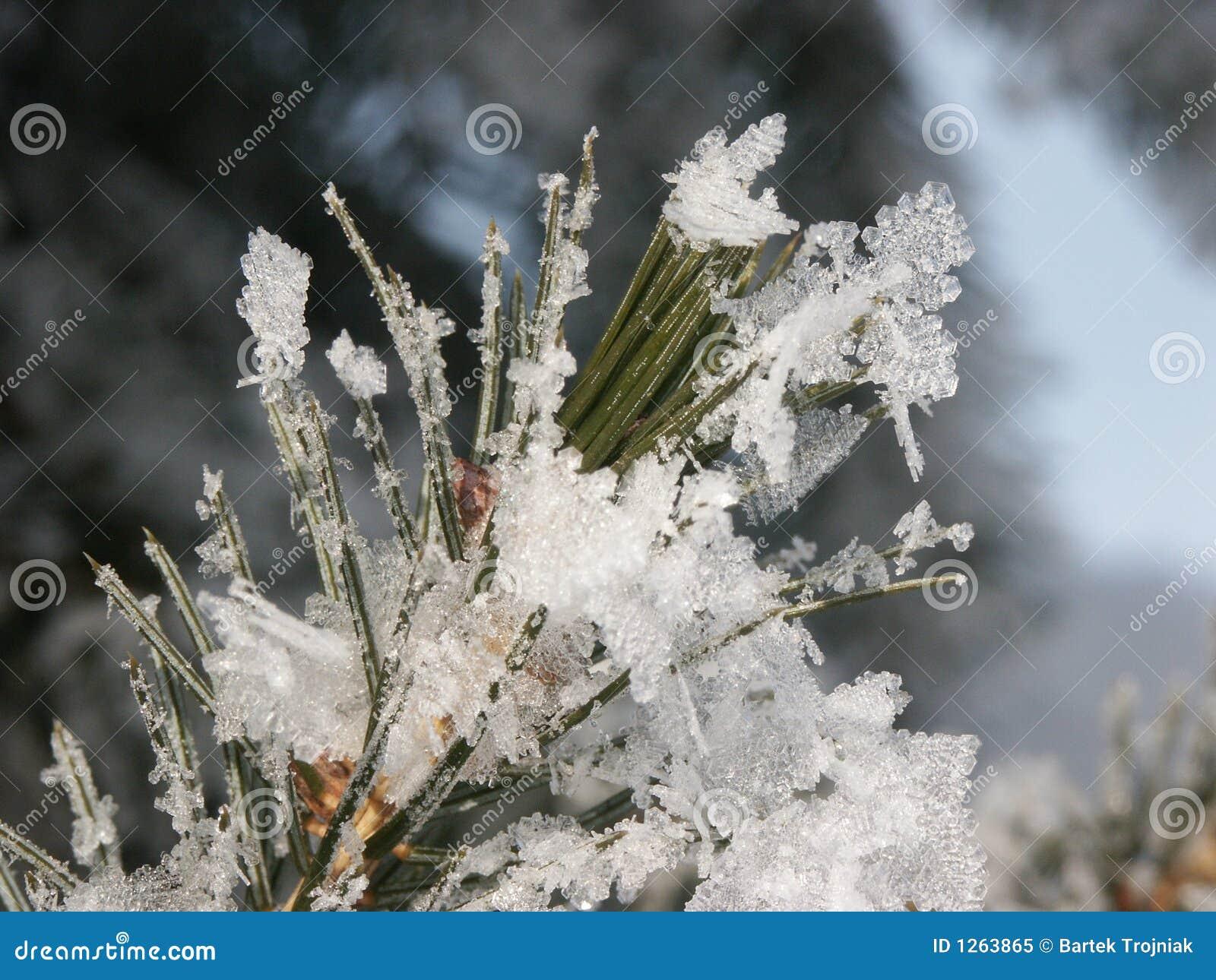 Bevroren pijnboomnaalden
