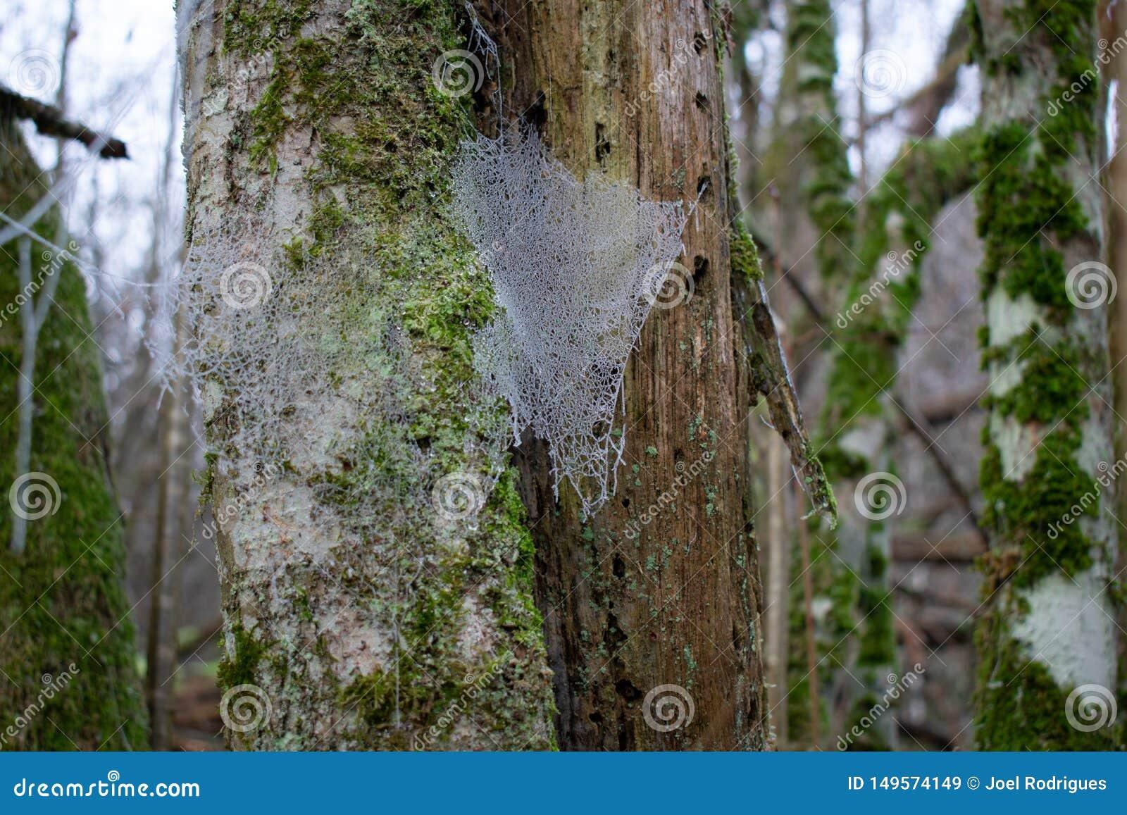 Bevroren spiderweb in bos tijdens wintertijd