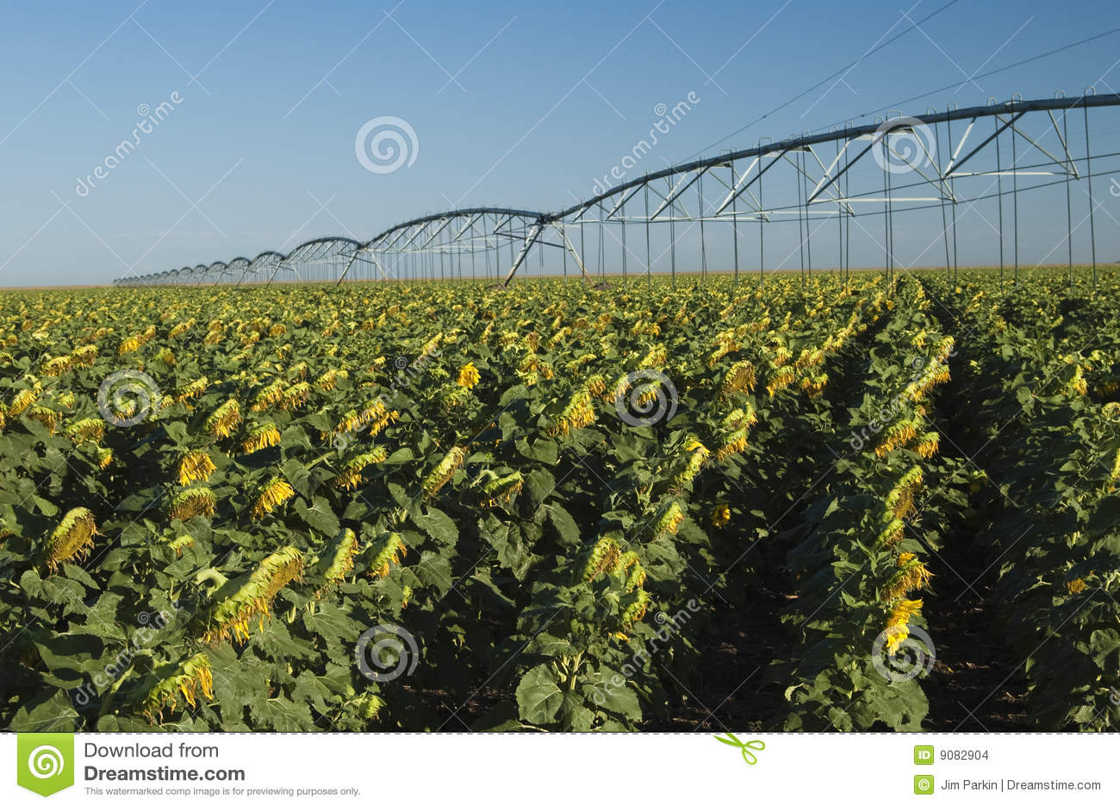 Bewässertes Sonnenblumefeld