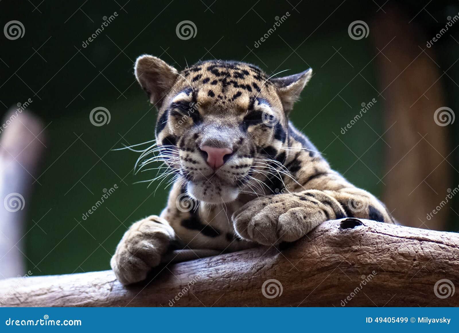 Download Bewölkter Leopard stockbild. Bild von ausdrucksvoll, geschöpf - 49405499