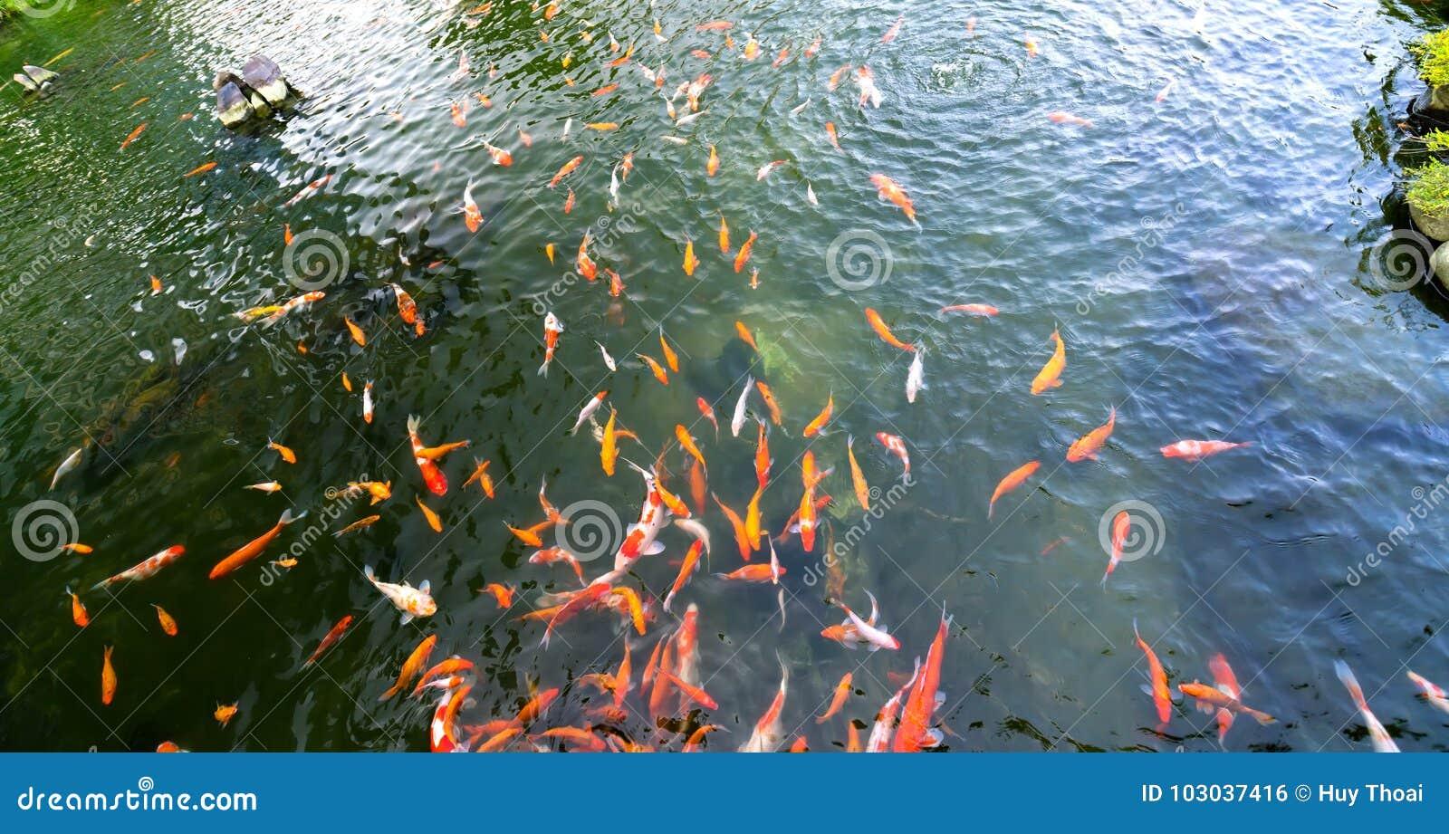 Bewegingsgroep kleurrijke koivissen in duidelijk water