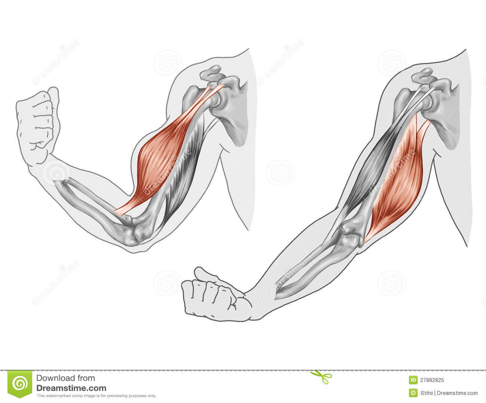 Triceps Stock Illustrationen, Vektors, & Klipart – (992 Stock ...