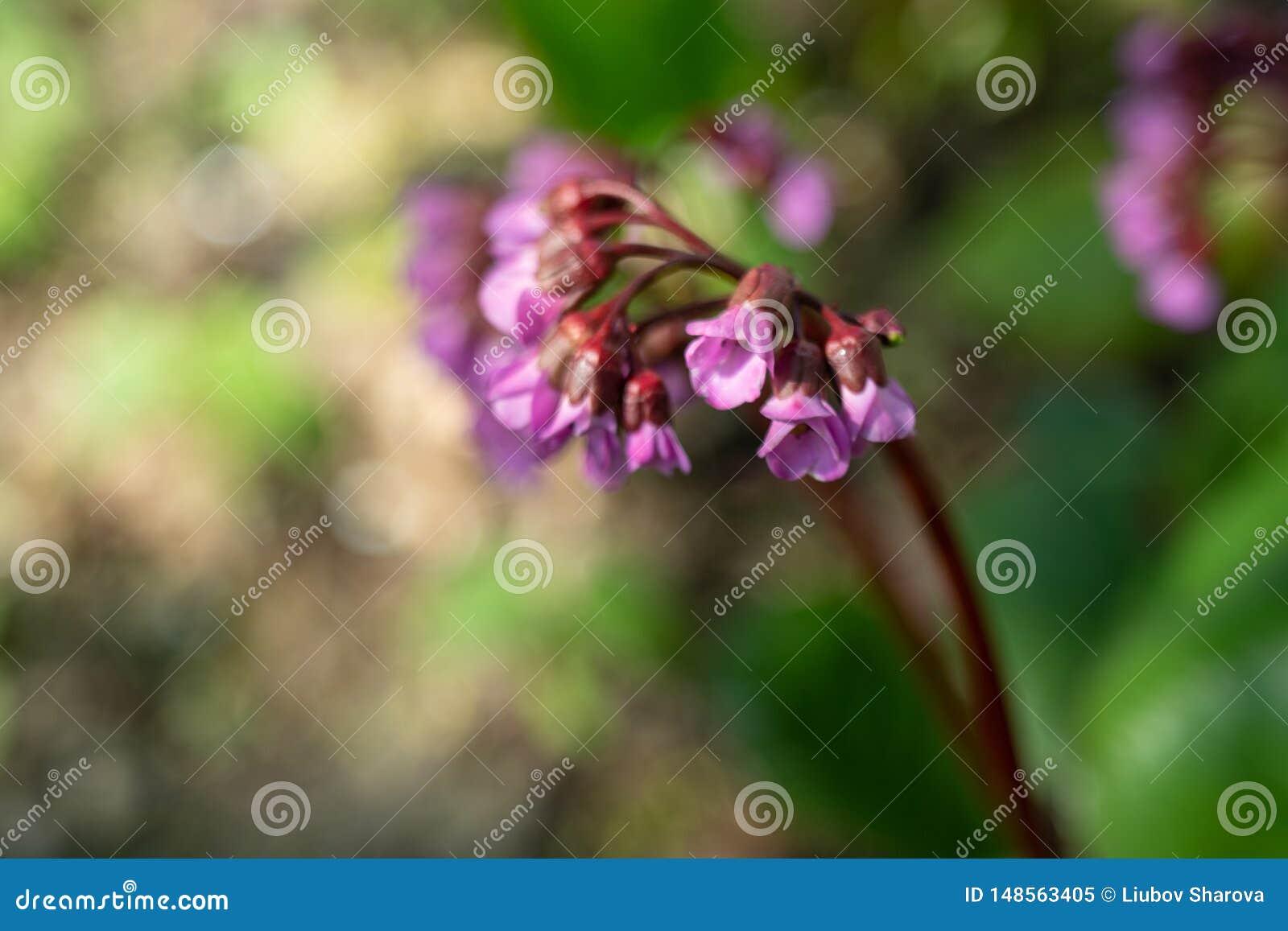 Bez kwitnie, Syringa vulgaris, w ostrzegaj?cego popo?udnia ?wietle w wiosna ogr?dzie, zamazuj?cy t?o