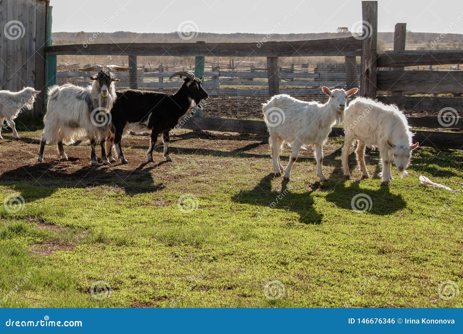 Bezaubernde Ziegen, belichtet durch die Sonne, auf dem Bauernhof