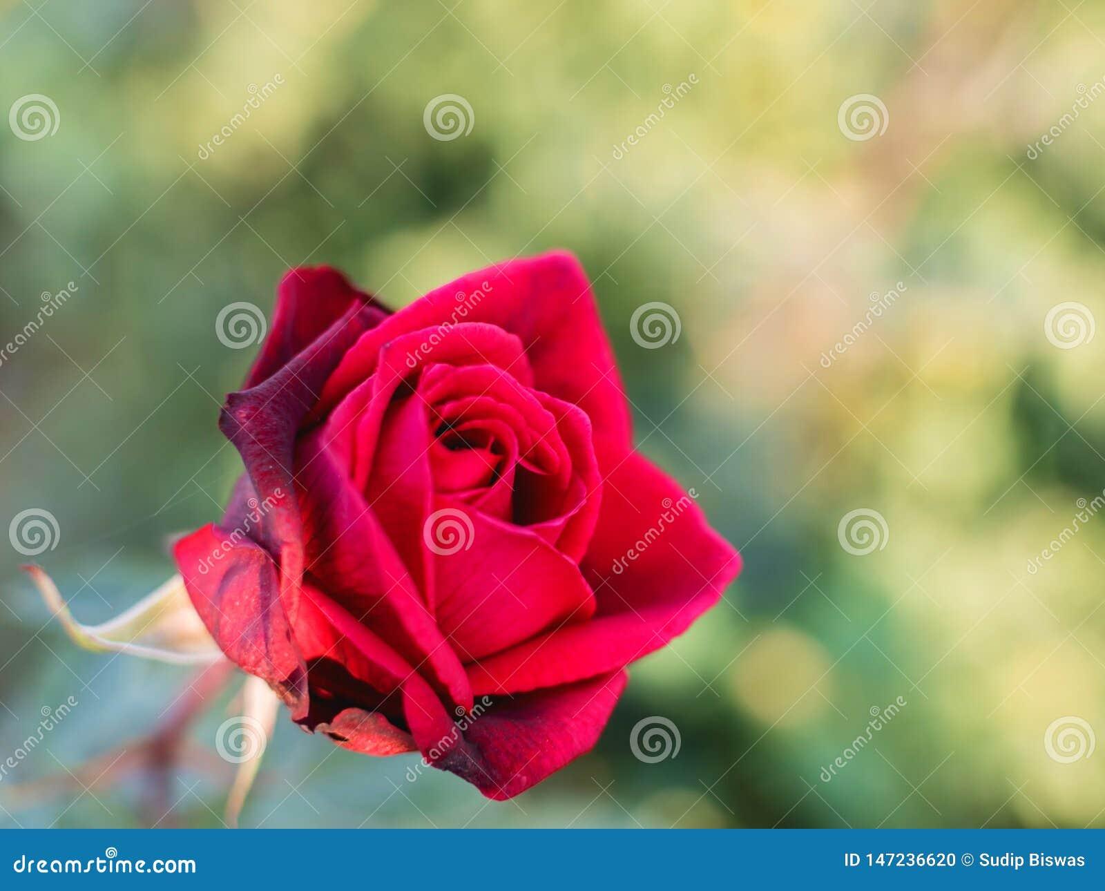 Bezaubernder roter rosafarbener Blumenabschluß oben