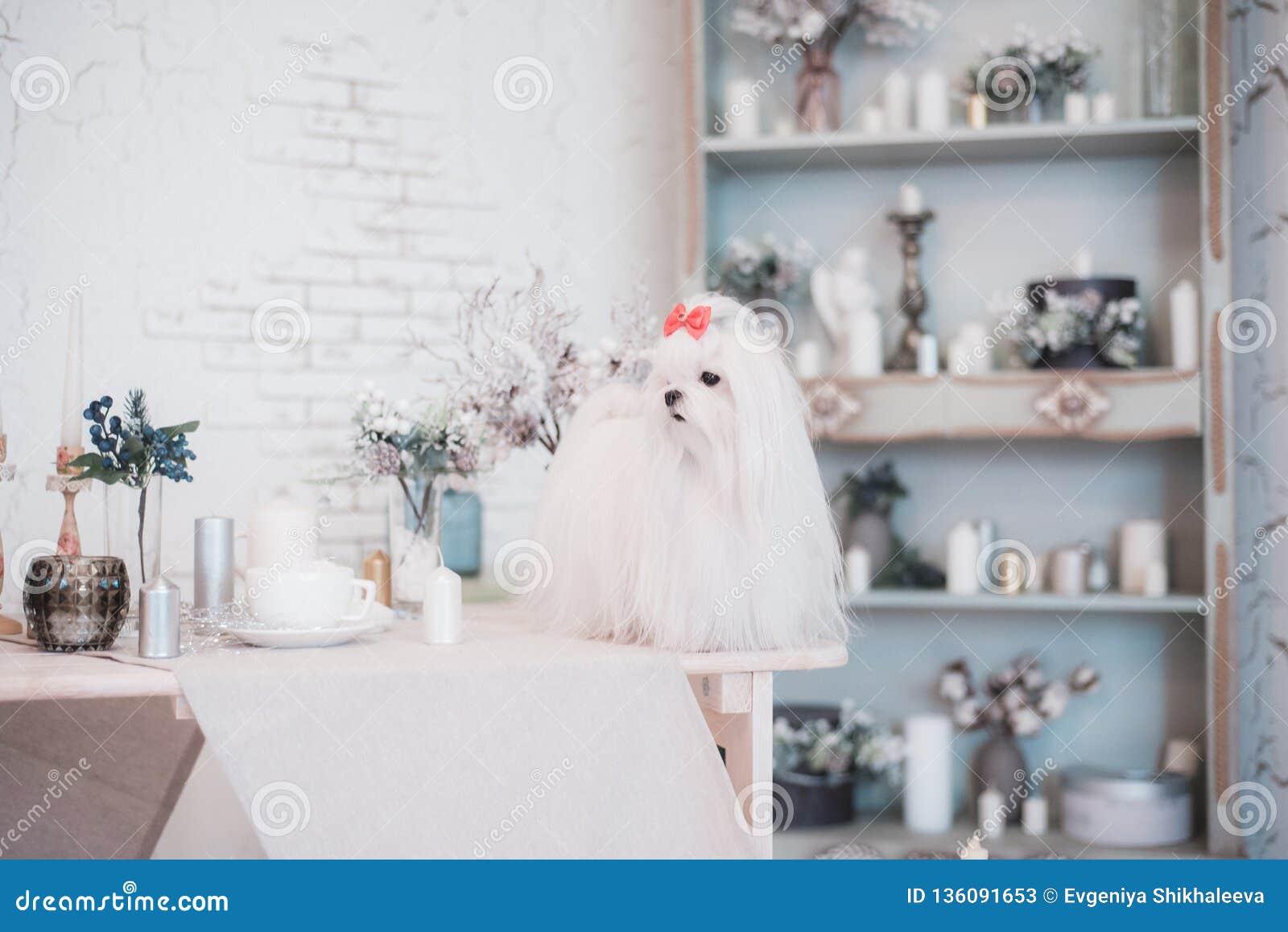 Bezauberndes weißes maltesisches in einem stilvollen Innenraum
