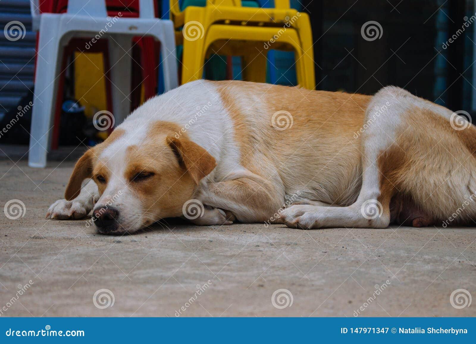Bezdomny jest prze?ladowanym na ulicie Sypialny pies na grodzkich ulicach Smutny zm?czony zwierz? domowe na letnim dniu