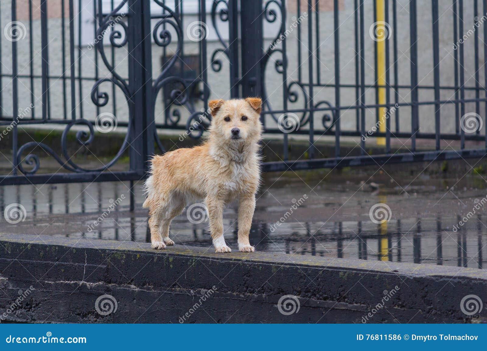 Bezdomny owłosiony czerwień pies jest przyglądający pewnie