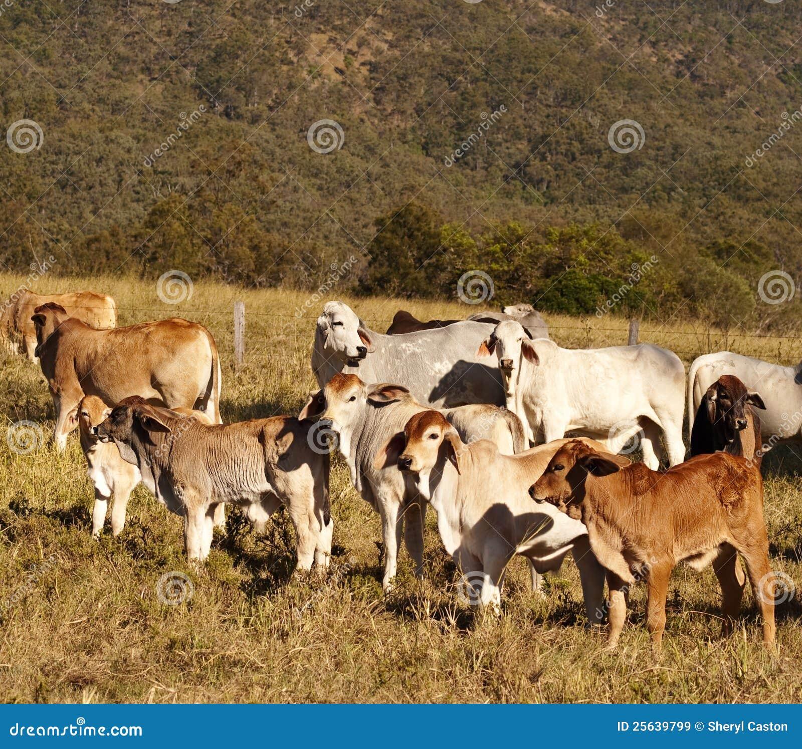 Bezerras australianas do Brahman dos gados bovinos