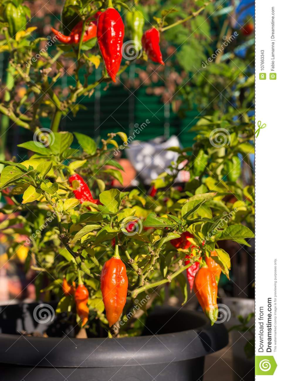 Bhut Jolokia Chili Pepper One Of The Hottest Pepper In The World