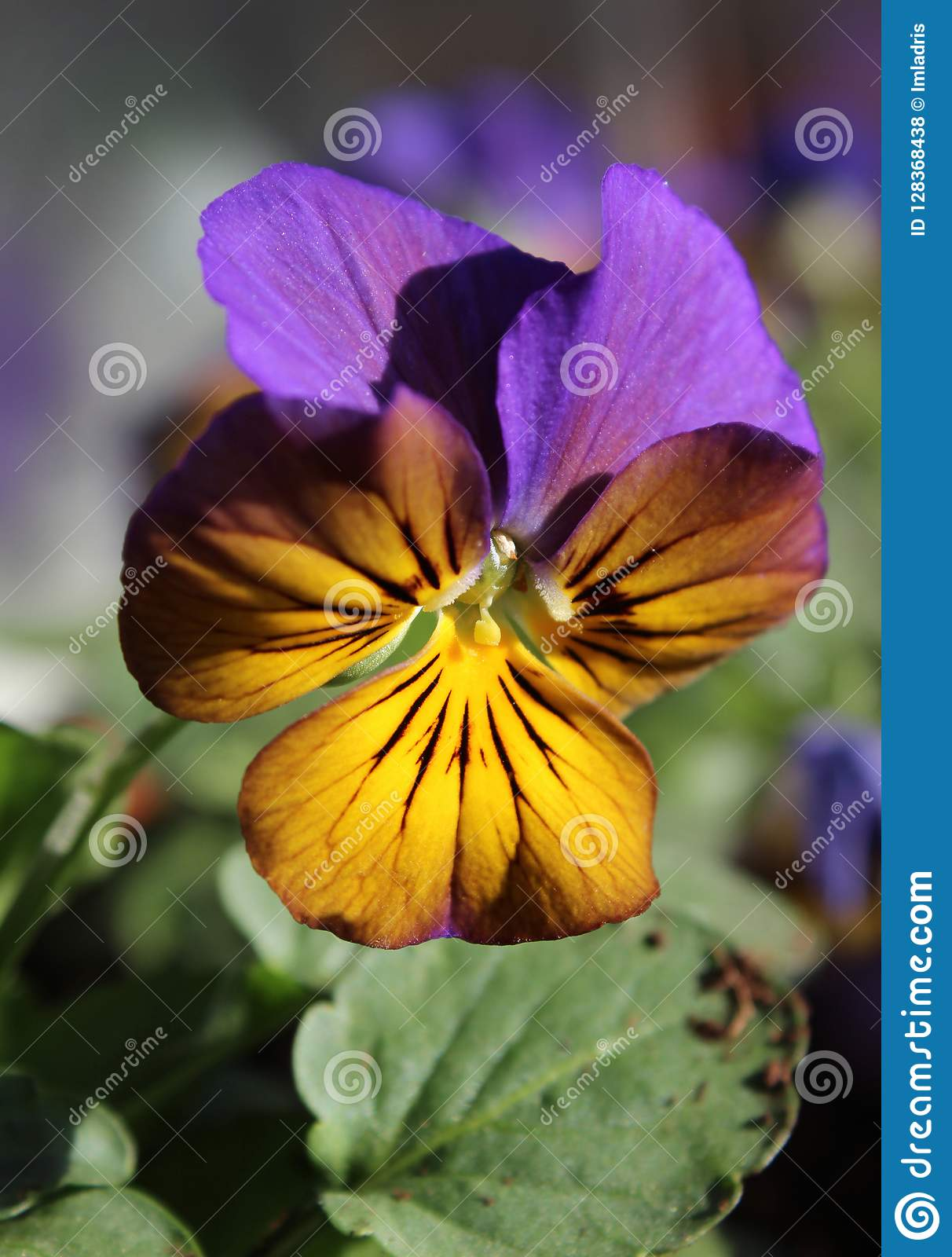 Bi Colored Viola Bedding Plant Stock Photo Image Of Garden