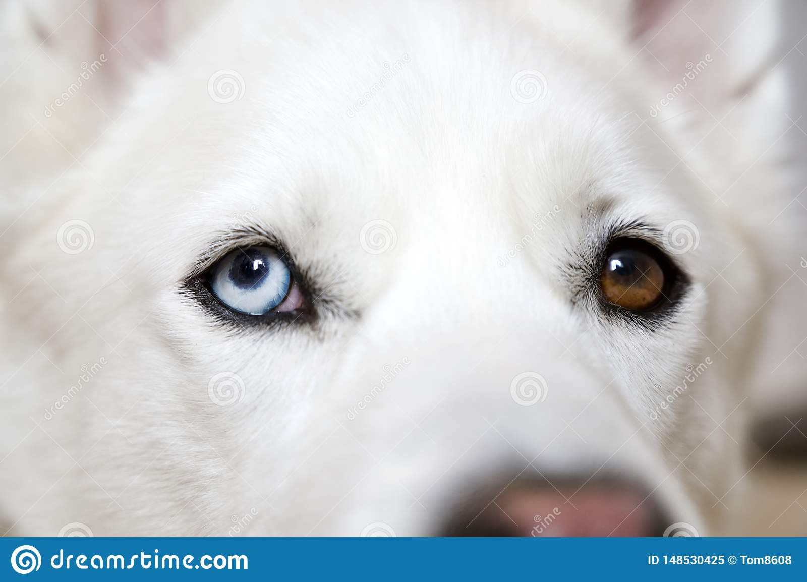 Bi-Eyed Husky Dog Close Up