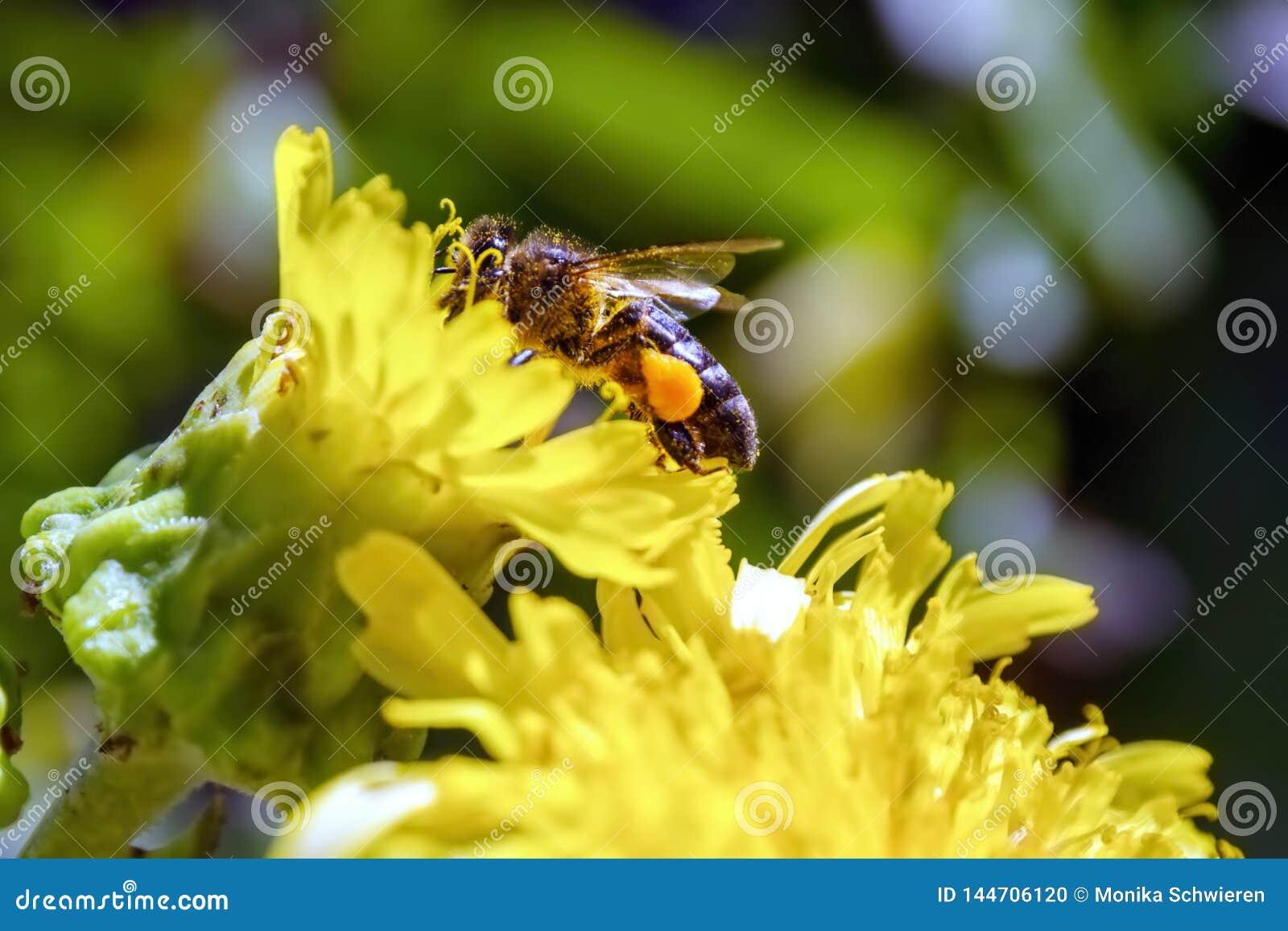 Bi i en blomning med tjocka pollenpåsar