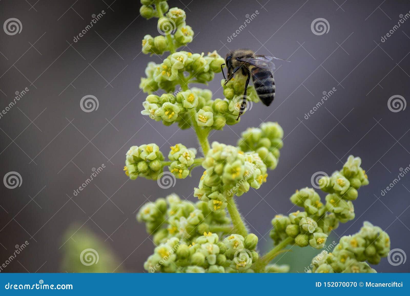 Bi p? blommaknoppen Samla blommaextrakt