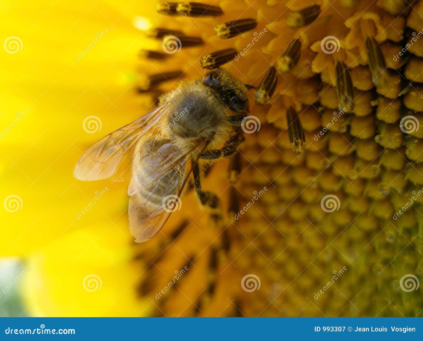 Bi som samlar honungsolrosen