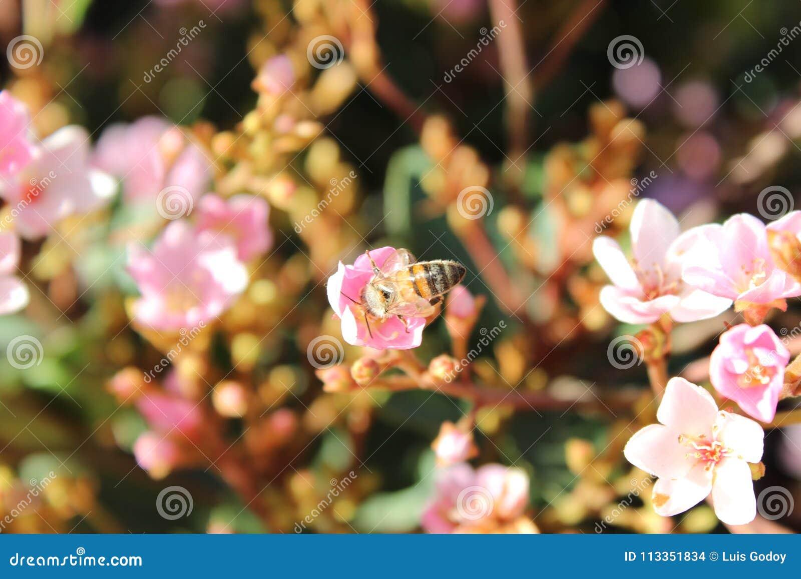 Bi som tar honungen från en blomma av trädgården