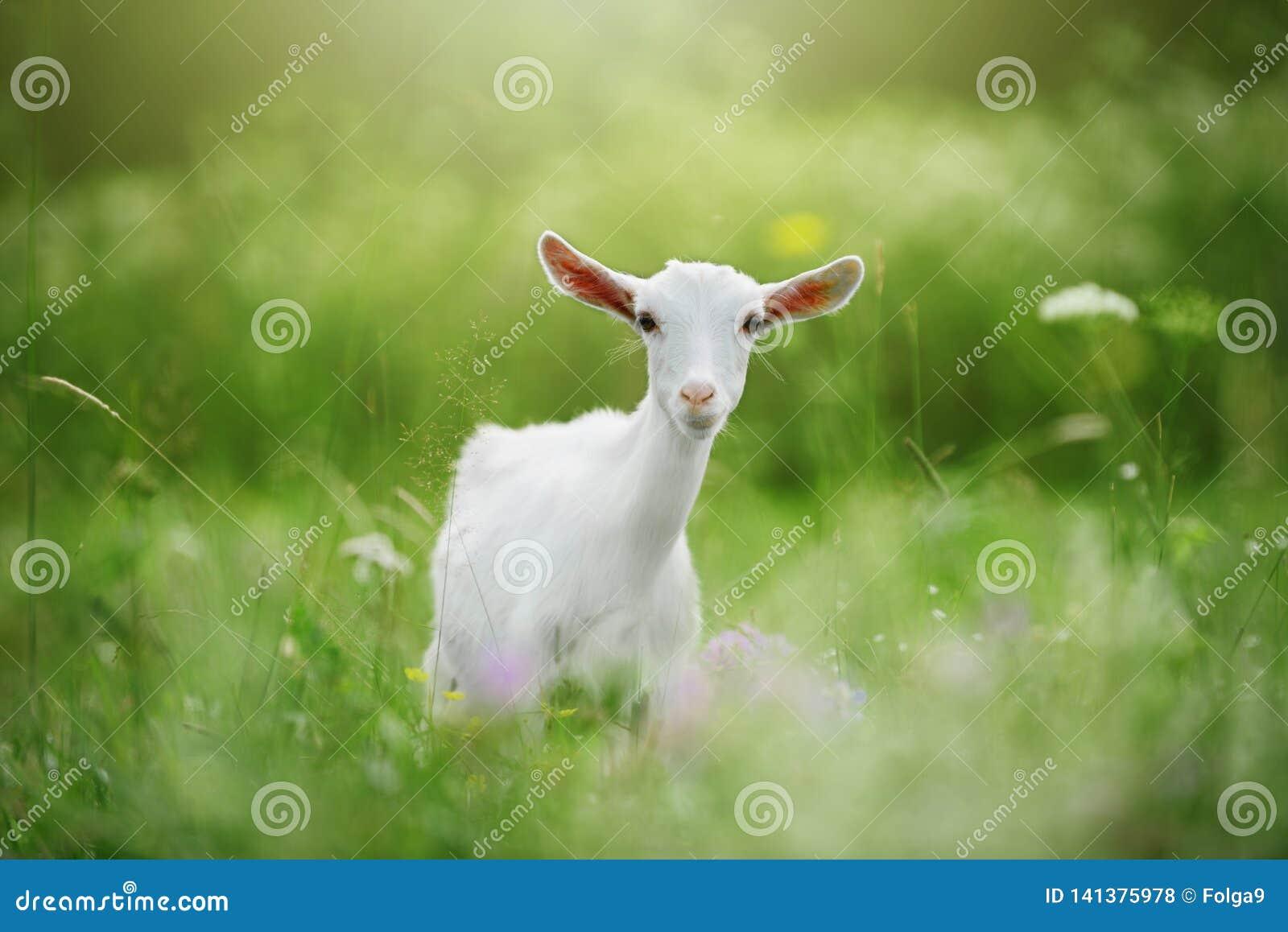 Biała młoda kózka w trawie Bokeh