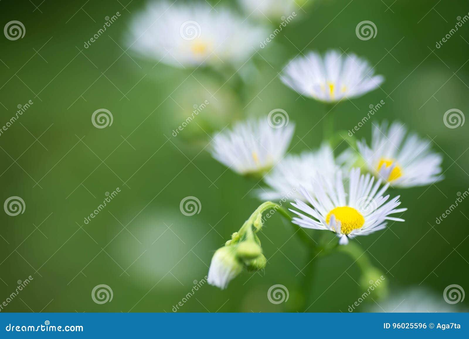 Biała łąka kwitnie selekcyjną ostrość makro-