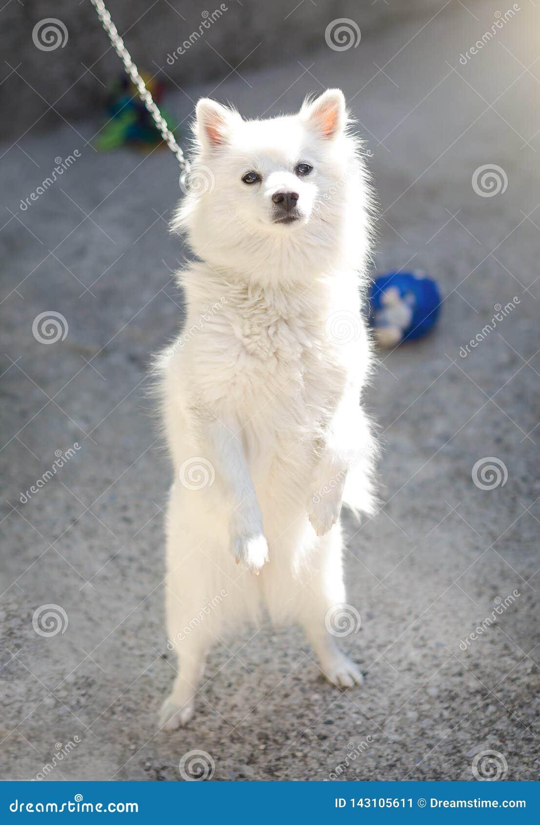 Biała śliczna psia pozycja na tylnych łapach